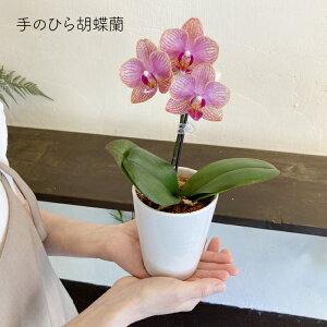 胡蝶蘭 ミニ ミディ カララ ラッピング 小さい かわいい 手のひら 母の日 父の日 敬老の日 お祝い 誕生祝い お礼 ...