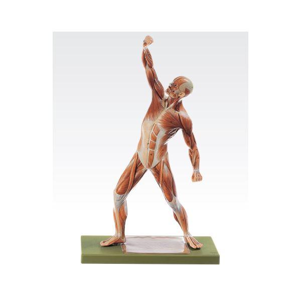 成人男性筋肉模型(人体解剖模型) 1体型モデル J-111-4【代引不可】:リコメン堂生活館