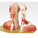 頭部半截モデル/人体解剖模型 【19分解】 頭蓋冠取りはずし可 脳:8個分解可 J-116-0【代引不可】