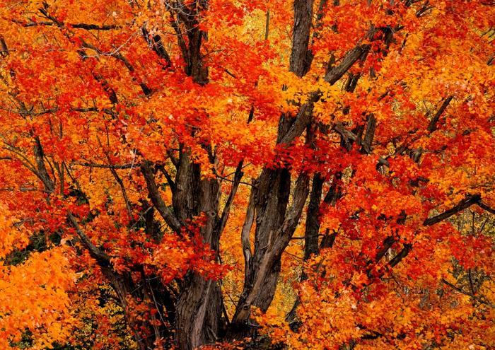 絵画風 壁紙ポスター 紅葉 木の葉 もみじ イロハモミジ (はがせるシール式) キャラクロ KYO-002A2 (A2版 594mm×420mm) 建築用壁紙+耐候性塗料 インテリア