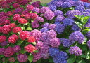 絵画風 壁紙ポスター (はがせるシール式) アジサイ 赤 ピンク 紫 ...