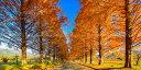 絵画風 壁紙ポスター (はがせるシール式) -地球の撮り方- どこまでも続く並木道 メタセコイア並木の紅葉 日本街路樹百景 滋賀県高島市 パノラマ 日本の絶景 キャラクロ C-ZJP-043S1 (1152mm×576mm) 建築用壁紙+耐候性塗料 インテリア