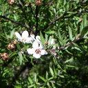 ほんのり甘い、薬草系の香り。マヌカ(Manuka)10ml天然100%のエッセンシャルオイル(精油)(手作り石...