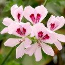 女性に人気のやさしいフローラル系です。ゼラニウム(Geranium)10ml天然100%のエッセンシャルオイル(...