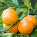 お得な卸価格 3本セット(1本あたり896円)人気ナンバーワン!元気なオレンジの香り。マンダリン (Mandarin)10ml天然100%のエッセンシャルオイル(精油)