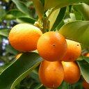 オレンジより、ややミカンに近い香り。タンジェリン (Tangerin)10ml天然100%のエッセンシャルオイル(精油)(手作り石鹸 香水 バスボム バスソルト アロマペンダント サシェ ディフューザー用)