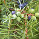 ヒノキに似たウッド調の香り。ジュニパー (Juniper)10ml天然100%のエッセンシャルオイル(精油)(手作...