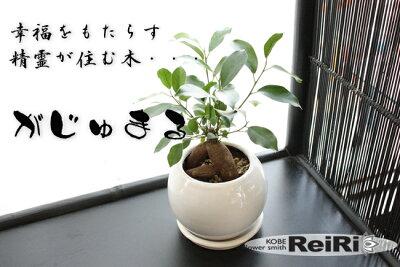 商品到着後のレビューお約束で送料無料!人気の観葉植物「ガジュマル」の鉢植え◎多幸の木とも...