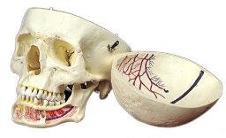 《坂本モデル》血管明示頭蓋骨模型
