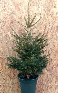 モミの木より丈夫!育てやすく樹形がきれい!エゾアカマツモミの木で本物のクリスマスツリーを...
