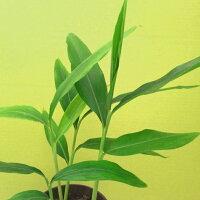 【月桃】ミラクルプランツ月桃ゴキブリ退散防虫防カビ沖縄で人気の天然植物