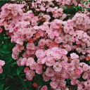 バラ苗 2年大株苗ヘブンリーピンク レンズローズ 4号鉢