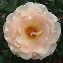美しく絡ませて庭を演出します☆10月下旬発送予定バラ苗 2年大株苗ロココつる 4号鉢