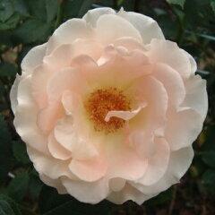 【つるバラ】バラ苗 2年大株苗ロココつるロング仕立て 6号鉢