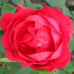 美しく絡ませて庭を演出します☆バラ苗 2年大株苗ブレーズつる 4号鉢