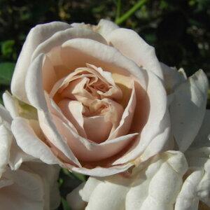 美しく絡ませて庭を演出します☆バラ苗 新苗(4月中旬発送)アシュウェンズディ つる 4号鉢