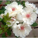 アーチや生垣など庭の演出には必須バラ苗 新苗(4月発送)ジャクリーヌ・デュプレ つる 4号鉢