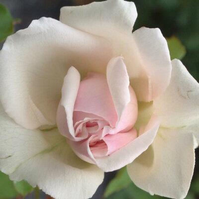 美しく絡ませて庭を演出します☆10月中旬以降のお届けですバラ苗 2年大株苗ニュードーンつる ...