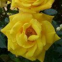 ひと株から多数の花が咲きます☆10月中旬以降のお届けですバラ苗 2年大株苗ゴールドマリー 中...