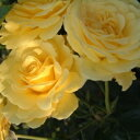ひと株から多数の花が咲きます★バラ苗 2年大株苗アーサーベル中輪 4号鉢