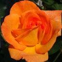 ひと株から多数の花が咲きます☆10月中旬以降のお届けですバラ苗 2年大株苗ルンバ中輪 4号鉢