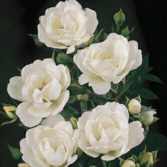 ひと株から多数の花が咲きます☆10月中旬以降のお届けですバラ苗 2年大株苗アイスバーグ中輪 ...