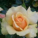 ひと株から多数の花が咲きます☆10月中旬以降のお届けですバラ苗 2年大株苗アンバークイーン中...