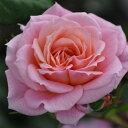 ひと株から多数の花が咲きます☆10月中旬以降のお届けですバラ苗 2年大株苗ピノキオ 中輪 4号鉢
