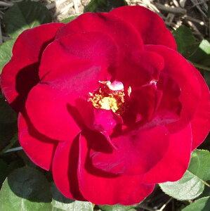 ひと株から多数の花が咲きますバラ苗 新苗(4月中旬発送 予約販売)プスタ 中輪 4号鉢