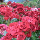 ひと株から多数の花が咲きます☆バラ苗 3年大株苗ニコロパガニーニ中輪 6 or 7号鉢