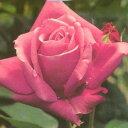 雄大な咲き方に魅了されます☆バラ苗 新苗(4月中旬発送)エミネンス 大輪 芳香 4号鉢