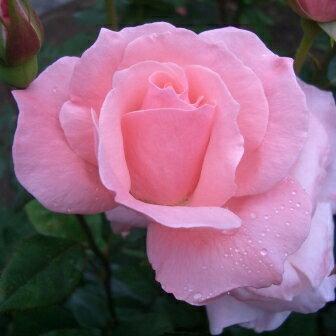 雄大な咲き方に魅了されます☆10月中旬以降のお届けですバラ苗 2年大株苗クィーンエリザベス大...