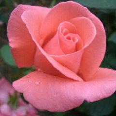 雄大な咲き方に魅了されます☆11月初旬以降のお届けですバラ苗 2年大株苗ハーモニー大輪 4号鉢