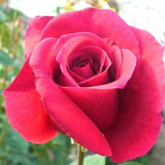 雄大な咲き方に魅了されます☆10月中旬以降のお届けですバラ苗 2年大株苗パパメイアン大輪 4号鉢
