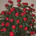 雄大な咲き方に魅了されます☆10月中旬以降のお届けですバラ苗 2年大株苗ルージュメイアン大輪...
