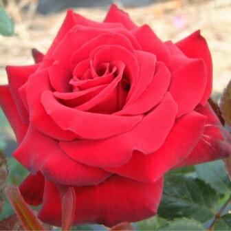 雄大な咲き方に魅了されます☆10月中旬以降のお届けですバラ苗 2年大株苗イングリッドバーグマ...