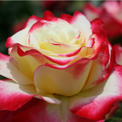 雄大な咲き方に魅了されます☆10月中旬以降のお届けですバラ苗 2年大株苗ダブルデライト大輪 ...