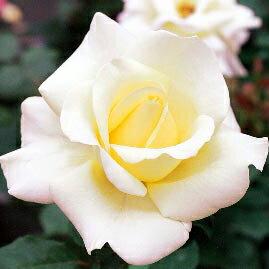 雄大な咲き方に魅了されます☆10月中旬以降のお届けですバラ苗 2年大株苗エリナ大輪 4号鉢