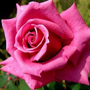 豪華で雄大な花バラ苗 2年大株苗紫雲大輪 4号鉢