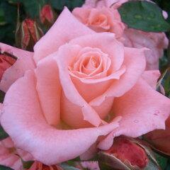 雄大な咲き方に魅了されます☆11月初旬以降のお届けですバラ苗 2年大株苗ティファニー 大輪 ...