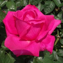 豪華なバラの頂点★雄大な咲き方に魅了☆バラ苗 2年大株苗マリアカラス大輪 4号鉢