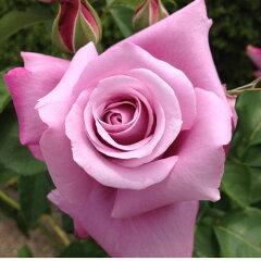 ◆2月発送の輸入苗と同送不可◆☆雄大な咲き方に魅了されます☆バラ苗 2年大株苗シャルルドゴ...