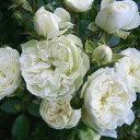 かわいい小さな花が素敵バラ苗 新苗(4月発送)グリーンアイス 小輪 4号鉢