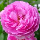 美しく絡ませて庭を演出します☆10月中旬以降のお届けですバラ苗 2年大株苗エクセレンツフォン...