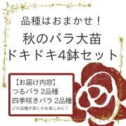 おまかせ ドキドキ 四季咲き