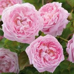 バラ苗 クイーンアン 国産大苗7号鉢イングリッシュローズ ピンク系