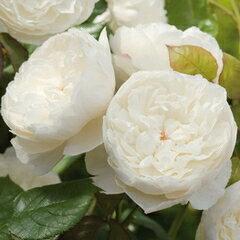 バラ苗 ウィリアムアンドキャサリン 国産大苗7号鉢白系 イングリッシュローズ