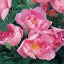 バラ苗 コーデリア 輸入大苗6号鉢 ピンク系 イングリッシュローズ【棘がほとんどない枝葉で、花...