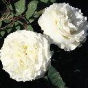 バラ苗 スワン 国産大苗7号鉢 イングリッシュローズ 白系