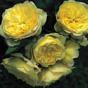 バラ苗 シンフォニー 国産大苗7号鉢 イングリッシュローズ 黄色系
